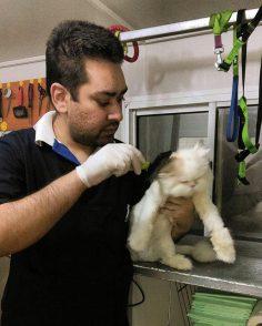 گارفیلد میفرماید  : زیباترین گربه های ایرانی . بهترین آرایشگاه حیوانات ایران را انتخاب میکنند .